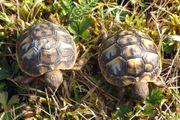 Griechische Landschildkröte Toskana
