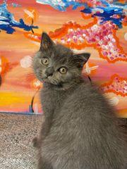 Bezaubernde BKH Kitten