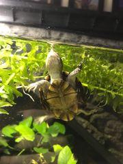 Rotwangen-Klappschildkröten Baby dringend abzugeben