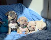 Französische Bulldoggen Welpen Creme Blue