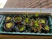 Fleischfressende Pflanzen im Topf