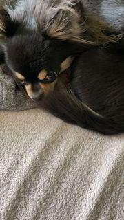 Suche Chihuahua