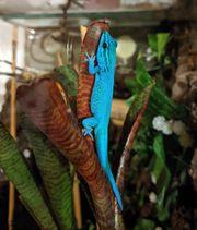 Himmelblaue Zwergtaggecko Lygodactylus williamsi