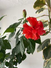 HIBISKUS Pflanze 5 Jahre alt