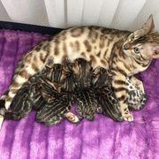 bengal kitten mit Stammbaum brown