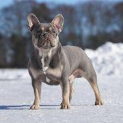 Französische Bulldogge Deckrüde Lilac Tan