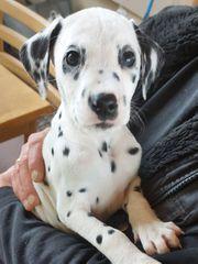 Dalmatiner Welpen