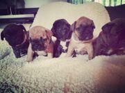 5 süße reinrassige Französische Bulldoggen