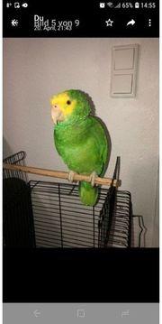Papagei Amazon doppelgelbstrererne Papagei 1