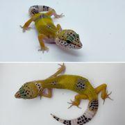 Leopardgecko Weibchen NZ 2021