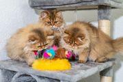 BLH Kitten in gold mit
