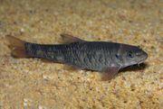 Kangal Fische lat Garra rufa