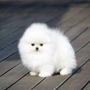 Suche Pomeranian kein Welpe