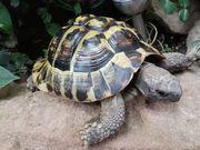 Griechisches Landschildkröten Männchen von 2011