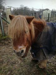 Shetty Rentner Rehe Pony