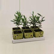Olea Europea - Olivenbaum - Widerstandsfähig 23-28cm