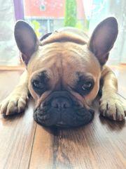 -Wurfankündigung- Französische Bulldoggen Welpen