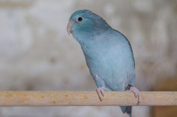 Blaugenicksperlingspapagei