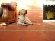 Labrador Löwin Laura