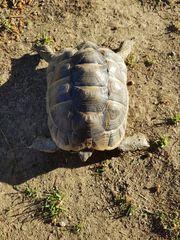 2 maurische Schildkrötenbuben