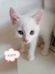 Liebe BKH kätzchen sucht ein