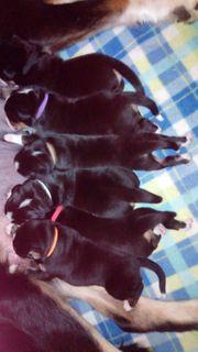 Swissy Dog Mischlingswelpen