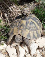 Griechische Landschildkröten Infos-Zucht-Beratung