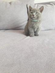 BKH Männchen Kitte sucht ein