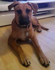Lieber Labrador/Boxer