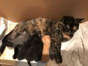 British Kurzhaar Katzen Babys Kitten