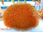 Meerwasser Korallen Ab 2 - Euro
