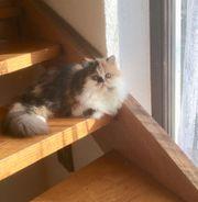 Perser Katze mit Stammbaum und