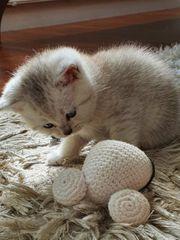 BKH Kitten 7 Wochen
