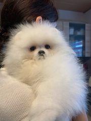 Pomeranian spitz rüde in weiß