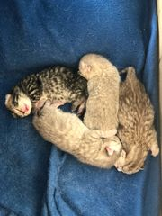4 BKH Scottish Kitten