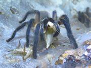 Monocentropus balfouri Blaue Jemen Vogelspinne