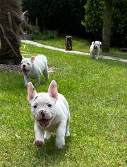 2 Französische Englische Bulldogge Welpen