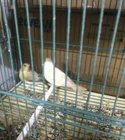 1 1 Schottische Grünfink Mutationen