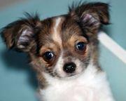 Traum Chihuahua suchen Dich