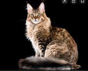 Suche Kitten Kater auf April