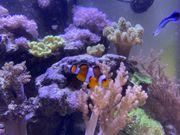 Clownfisch Anemonenfisch ca 5cm