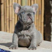Shöne Französische Bulldoggen Welpen nfjsmsh