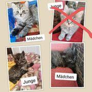 4 kleine BKH Persa Katzen