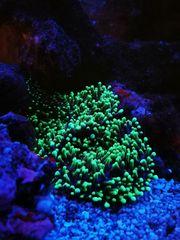 Meerwasser Rhodactis howesii grün Scheibenanemone