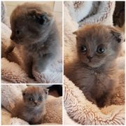 Bkh Kitten / Faltohkatze