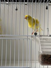 2 vogel kanarien südholländer männlich
