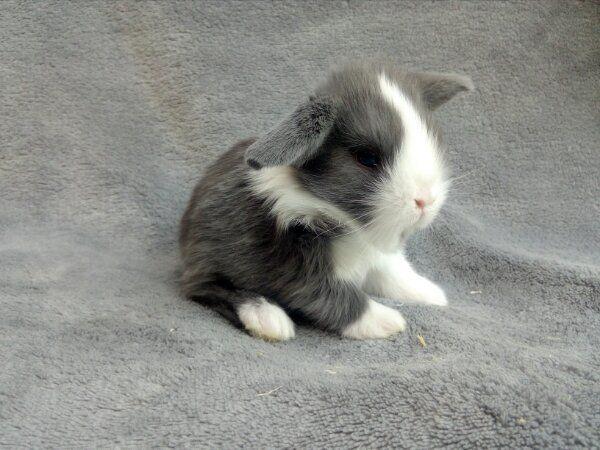 Orginal Minilop Kaninchen Babys UK