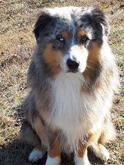 Australian Shepherd Blue-merle o P