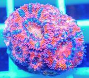 Meerwasser Korallen SPS LPS Zoanthus