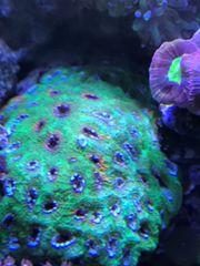 Koralle Acanthastrea Echinata groß